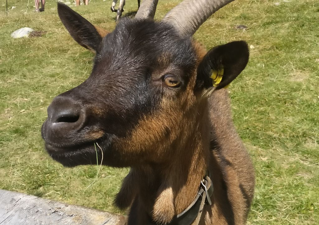 a friendly goat