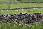 Dry stone wall sheep fields - Castleton.jpg