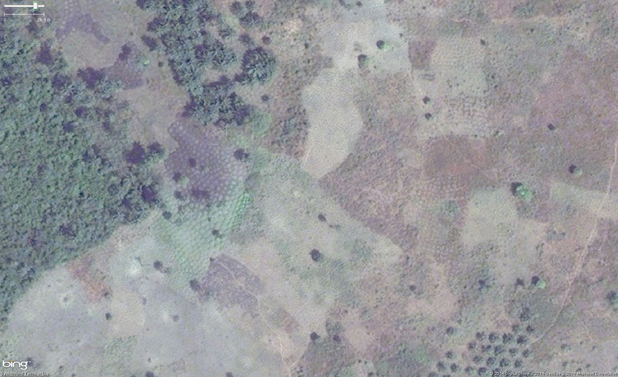 An example of cassava, also known as manioc, cultivation in West Africa. The main identifying feature are the collection of rounded shapes of 1 to 1.5 meters across arranged tightly but irregularly. Green areas are new and growing plants and brown areas are harvested. Also note that you can see a small part of a palm orchard in the lower right area of the image.
