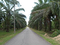 Oil Palm Plantations in Malacca.JPG